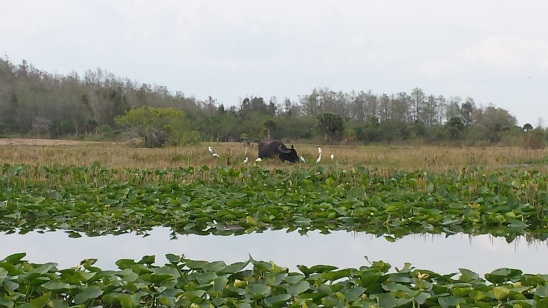 Water buffalo on the Seminole Indian Reservation, Florida