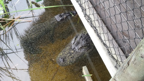 Gators under the jetty, right beneath our feet!
