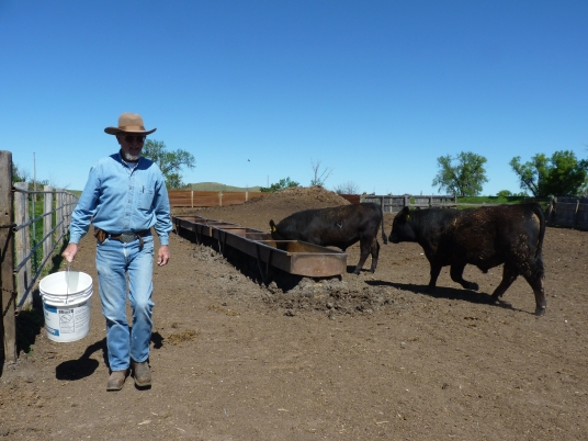 South Dakota rancher Larry Stomprud feeding his young bulls