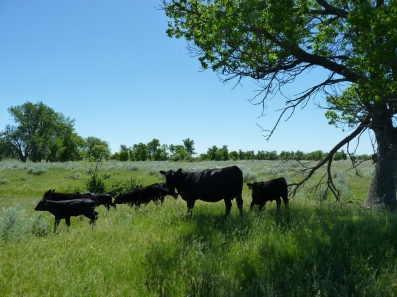 Black Angus cows with their calves at foot. Summertime, South Dakota.