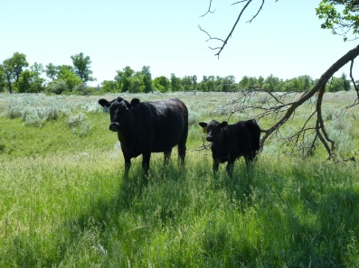 Cow and calf on native prairie grass