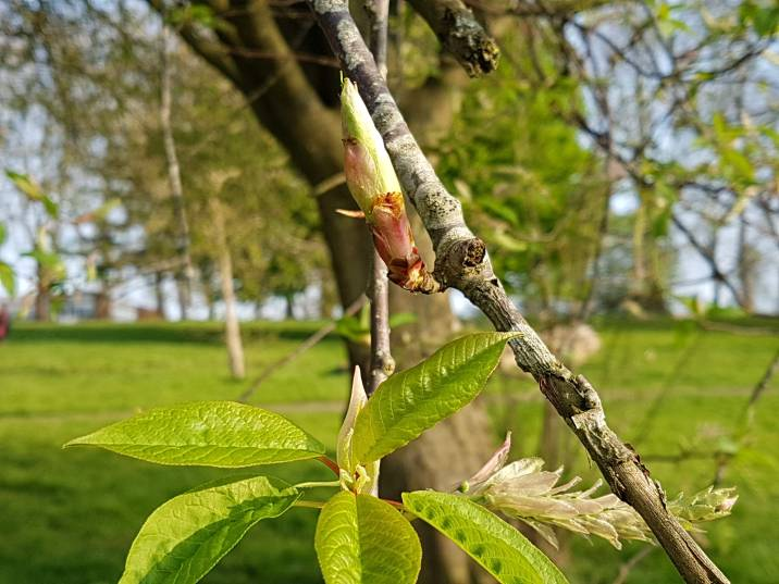 A bud waiting to burst open